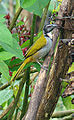 Saltator atriceps, the Black-headed Saltator (8988271638).jpg