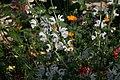Salvia argentea 4zz.jpg