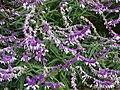 Salvia leucantha at Yamada Sunflower Garden in Miyaki 02.jpg