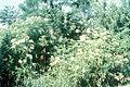 Sambucus nigra ssp canadensis 1480455.jpg