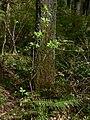 Sambucus racemosa 38723.JPG