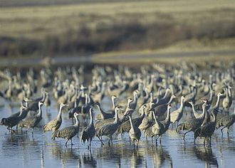 Muleshoe National Wildlife Refuge - Image: Sandhill Cranes Muleshoe NWR