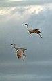 Sandhill cranes arrive at Bosque del Apache NWR (6366881025).jpg
