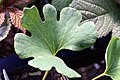 Sanguinaria canadensis 5zz.jpg