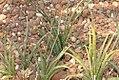 Sansevieria aethiopica 1zz.jpg