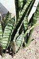 Sansevieria trifasciata pm.jpg
