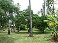 Santalum austrocaledonicum 3.jpg