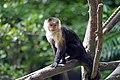 Sapajou Capucin (Zoo Amiens)1.JPG