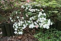 Satsuki Azalea (Rhododendron) Shinkigen (3575212744).jpg