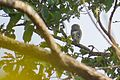 SaurabhSawant Forest Owlet Tansa IMG 5999.jpg