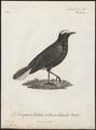 Saxicola leucura - 1796-1808 - Print - Iconographia Zoologica - Special Collections University of Amsterdam - UBA01 IZ16200330.tif