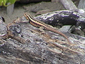 Description de l'image Sceloporus variabilis.jpg.
