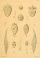Schewiakoff2.PNG