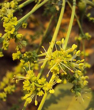 Schleichera - Flowers.