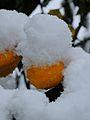 Schnee Orange, Citrus × aurantium 5.JPG