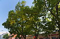 Schnurbäume2.jpg