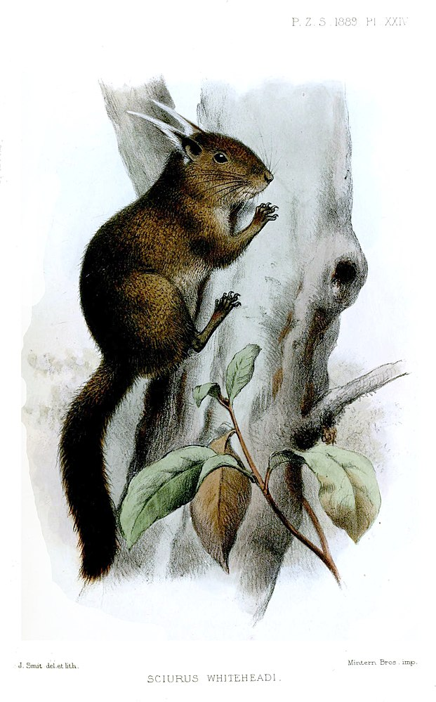 The average litter size of a Tufted pygmy squirrel is 1
