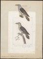 Scythrops novae hollandiae - 1838 - Print - Iconographia Zoologica - Special Collections University of Amsterdam - UBA01 IZ18800327.tif