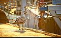 Seagull (6226049982).jpg
