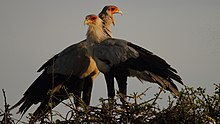 A pair of Sercetarybirds standing on branches at the top of a tree