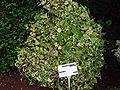 Senecio macroglossus A.jpg