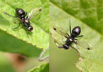 Sepsidae - Sepsis fulgens (lesser dung fly)