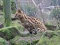 Serval-15.jpg