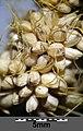 Setaria italica subsp. italica sl40.jpg