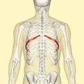Seventh rib back.png
