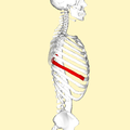 Seventh rib lateral2.png