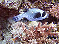 SharkObservatoryPutterfish.jpg