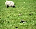 Sheep Pasture, Highcliffe Farm - geograph.org.uk - 479681.jpg