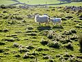 Sheep in a thistle field - May 2013 - panoramio.jpg