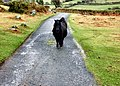 Shetland ponies on Dartmoor. - geograph.org.uk - 1770444.jpg