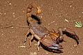 Shiny Burrowing Scorpion (Opistophthalmus glabrifrons) (16667560568).jpg