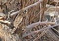 Short-eared Owl (Asio flammeus) (49341043218).jpg