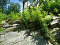Shrubs in boulders in Bloomingdale New Jersey.jpg