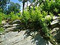 Shrubs in boulders in Bloomingdale New Jersey.jpg