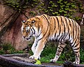 Siberian Tiger Lincoln Park Zoo (17562834949).jpg