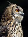 Siberian Turkamanian Eagle Owls (6794825278).jpg