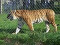 Siberian tiger at Blair Drummond.jpg