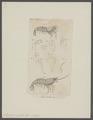 Sicyonia sculpta - - Print - Iconographia Zoologica - Special Collections University of Amsterdam - UBAINV0274 097 10 0009.tif