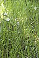 Silene latifolia (Compagnon blanc).jpg