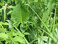 Silphium terebinthinaceum - Flickr - peganum.jpg