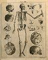 Skeleton, front view, with bones of the skull; seventeen fig Wellcome V0008025EL.jpg