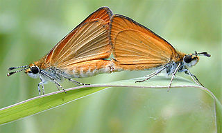 <i>Ancyloxypha numitor</i> Species of butterfly