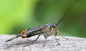 Mecoptera - Panorpa communis, male