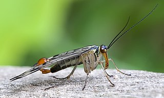 Mecoptera order of insects