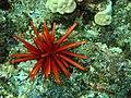 Slate pencil sea urchin.jpg