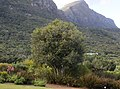 Small Cassine peragua tree Cape Saffron Table Mountain.jpg